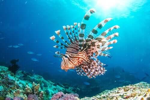 Die Rotfeuerfisch-Invasion: Der neue Bewohner des Mittelmeers