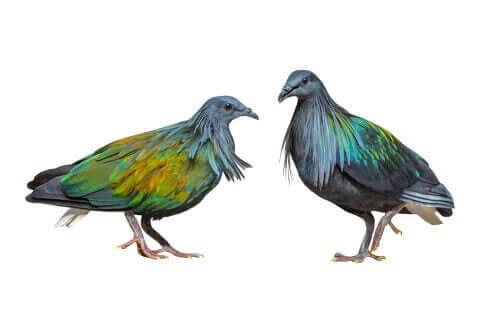Liverpool-Taube- Nikobarentauben-Paar