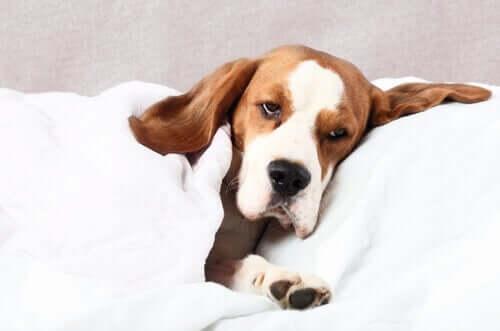 Ursachen von Krämpfen bei Hunden - kranker Hund