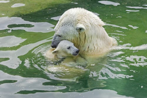 Elterliche Fürsorge - Eisbären