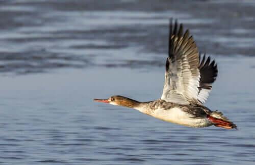Enten - Gänsesäger über Wasser
