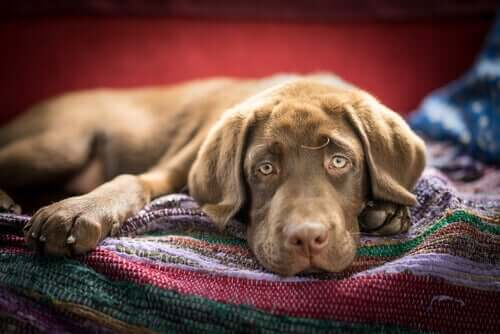 Wenn der Hund Gift gefressen hat - kranker Hund