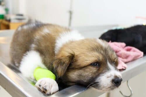Ursachen von Krämpfen bei Hunden - Hund beim Tierarzt