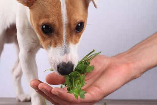vegane Ernährung für Hunde -Hund riecht an Petersilie