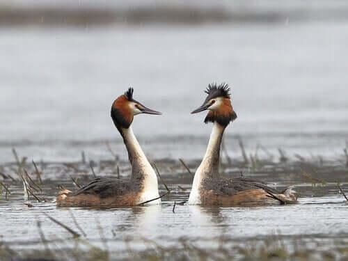 Enten -Lappentaucher-Paar