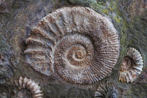 Ammonitenfossilien