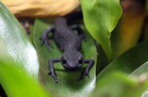Die Färbung dieser Amphibien ist bei allen bräunlich-schwarz mit einem orangefarbenen Bauch.
