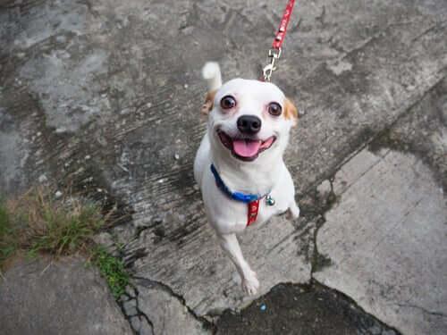 Hunde, die beim Spaziergang nicht auf ihren Besitzer hören