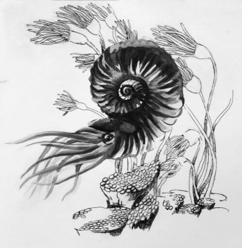 Zeichnung von Ammoniten