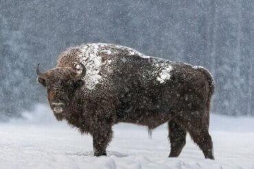Der Eurasische Auerochse: Merkmale und Eigenschaften