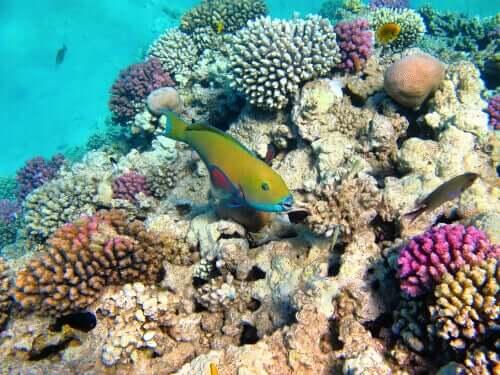 Korallenriffe und ihre Symbiose mit mikroskopisch kleinen Algen