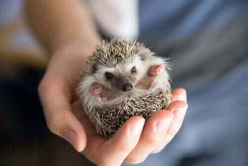 Wobbly-Hedgehog-Syndrom - kleiner Igel
