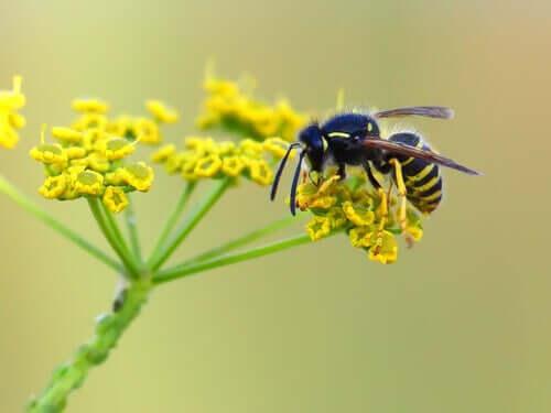 Bestäubung - Wespe auf Blüte