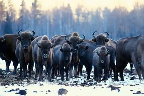 Der Eurasische Auerochse - Herde