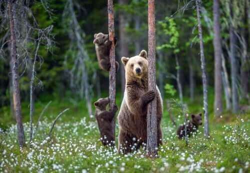 Schriftsteller - 3 Bären im Wald