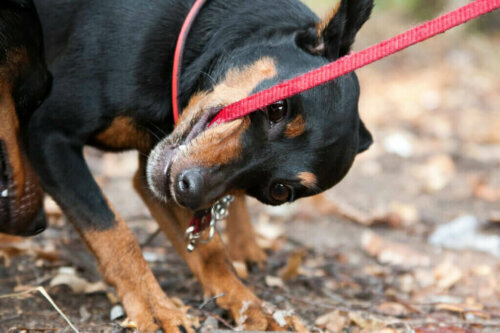 Was tun, wenn dein Hund in seine Leine beißt?