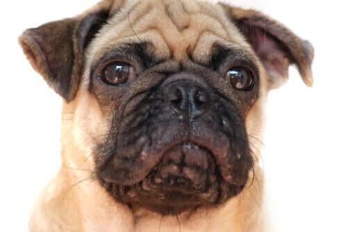 Akne bei Hunden: Merkmale und Behandlung