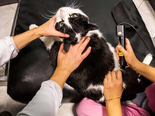 Lasertherapie bei Haustieren: Alles Wissenswerte