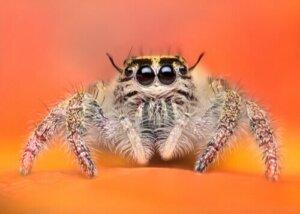 Springspinnen: Faszinierende Exemplare im Tierreich