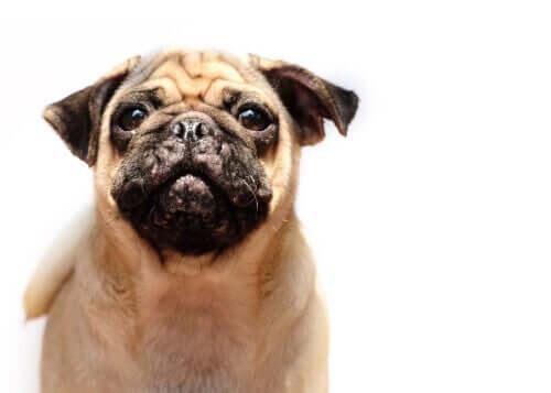 Akne bei Hunden - Hautprobleme