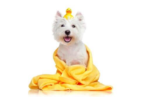 Feuchttücher - Hund mit Handtuch und Ente auf dem Kopf