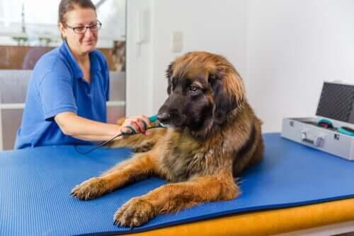 Lasertherapie - Hund