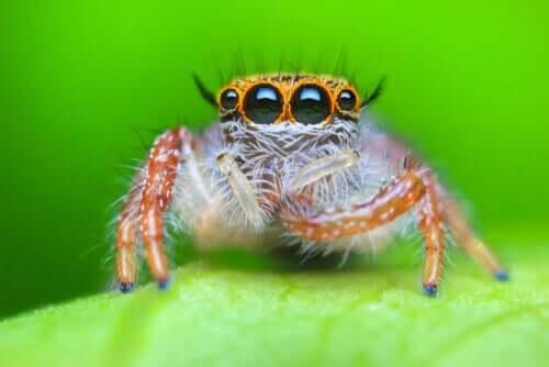 Springspinnen - Nahaufnahme auf Blatt