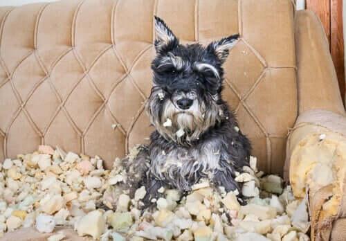 Zwangsstörung - Hund auf zerstörter Couch