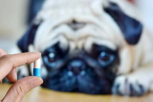 Dosierung von Medikamenten - Pille mit Hund im Hintergrund