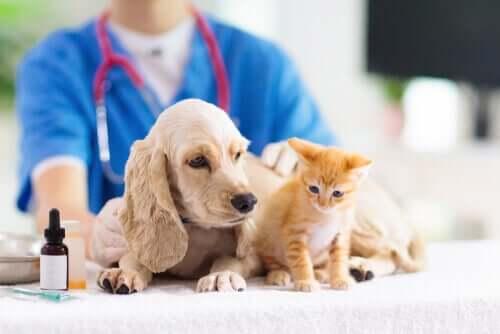Lasertherapie - Cocker Spaniel und Katze beim Tierarzt