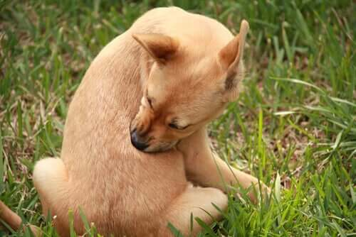 Vorbeugung gegen Parasiten - Hund beißt sich selbst