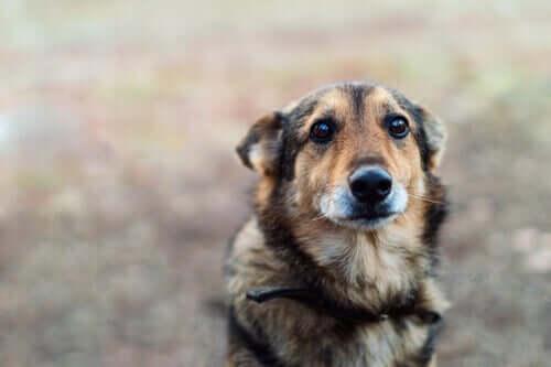 Zwangsstörung - Hund mit angelegten Ohren