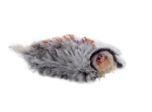 Die Raupe der Südlichen Flanellmotte: wunderschön und giftig