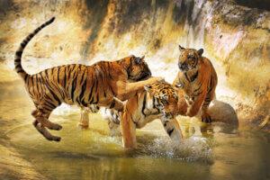 Der Südchinesischen Tiger: Gemälde
