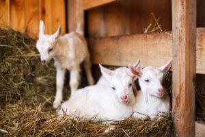 Kryptosporidiose ist die Hauptursache für Durchfall bei neugeborenen Kleinwiederkäuern