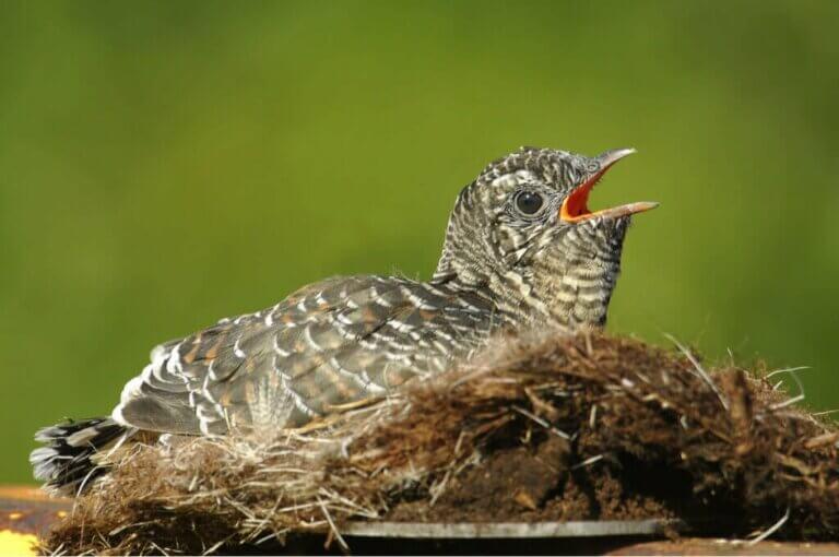 Der Kuckuck: Ein listiger Brutparasit und seine Verwandten
