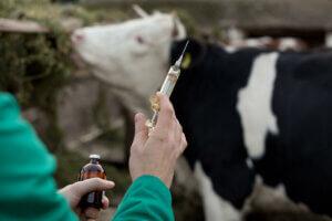 Impfung von Nutztieren gegen Babesiose und Anaplasmose