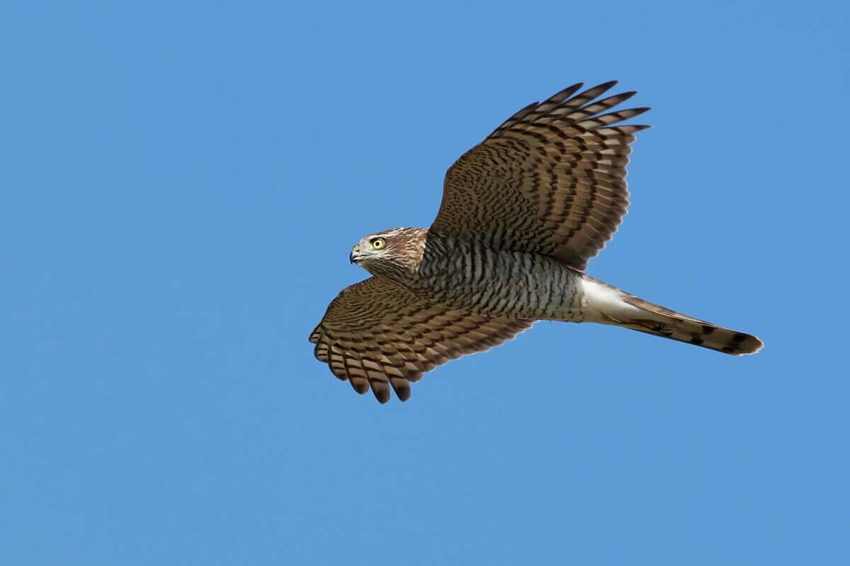 Sperber können einen Fluggeschwindigkeit von bis zu 120 Kilometer pro Stunde erreichen