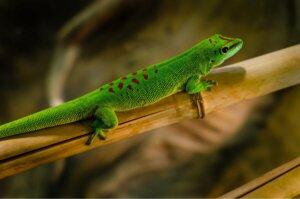 Taggeckos auf einer Bambusstange