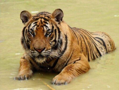 Der Südchinesische Tiger: Vom Aussterben bedroht