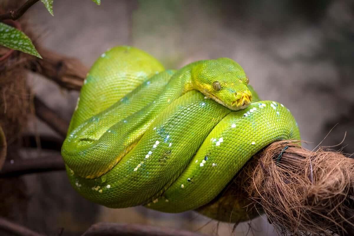 Während des Tages rollen sich diese Schlange auf einem hohen Ast zusammen und ruhen sich aus.