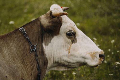 Anaplasmose und Babesiose und der Zusammenhang mit Rinder-Depression