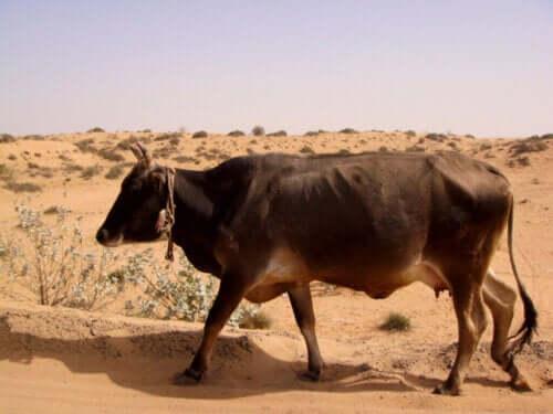 Die Akklimatisierungsfähigkeit von Tieren und wie sie die Entscheidungen der Landwirte beeinflusst