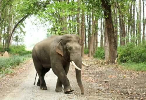 Asiatische Elefanten: Arten und Merkmale