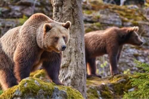 Die Auswirkungen des Klimawandels auf den Kantabrischen Braunbären