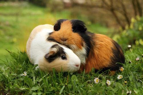 Meerschweinchen: Warum quietschen sie eigentlich?