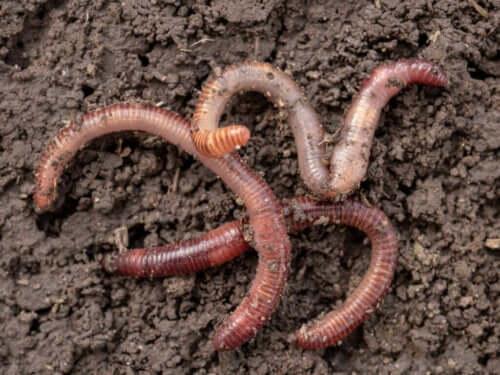 Fortpflanzung von Würmern - ein faszinierender Prozess