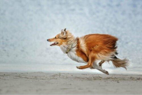 Hunderassen, die am häufigsten von zuhause weglaufen