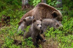 Auswirkungen des Klimawandels - wilde Bären