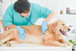 Krebs bei Golden Retrievern - Tierarzt